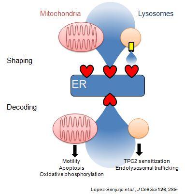 cwt-lysosomes