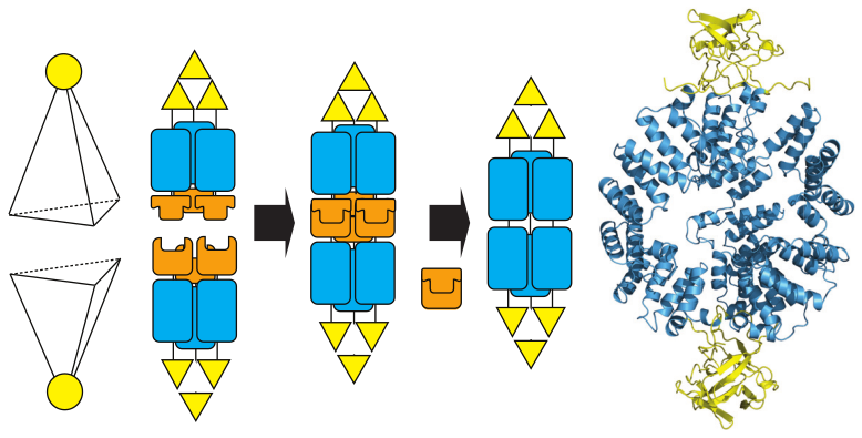 Assembly of protein cages using TPRs and split intein-mediated native chemical ligation