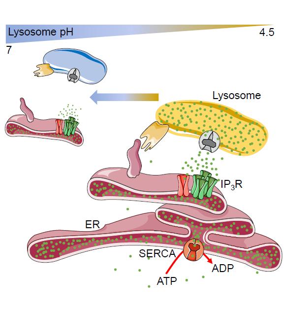 Shooting calcium at lysosomes